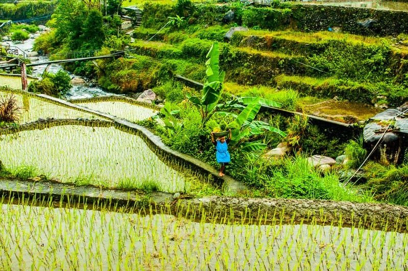 rice terraces local