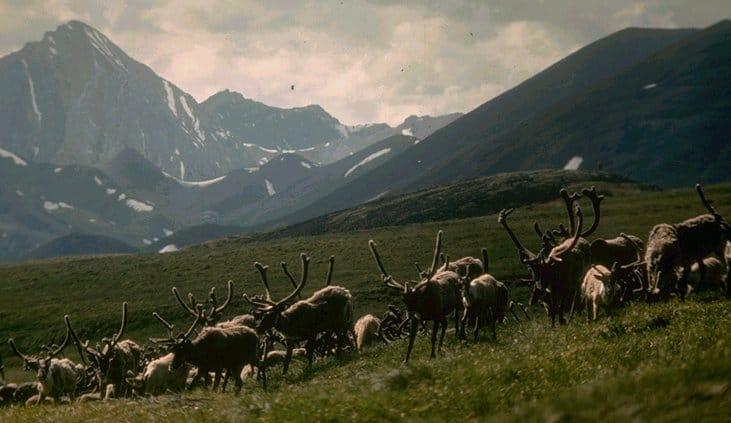 caribou herd large