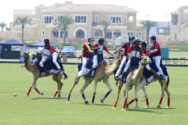 pics of camels playing polo